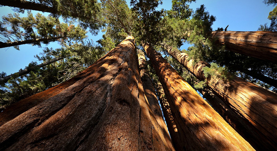 The most expensive wood in the world: Sequoia